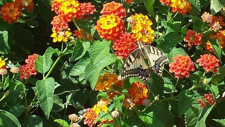 flowers butterfly